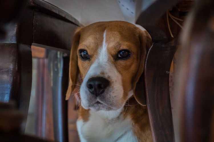 Dog Pets Domestic Animals Animal Themes One Animal Looking At Camera Portrait No People Indoors  Close-up Beagle Light And Shadow Constrast Brasília - Brazil Canon Capture The Moment Canon750D Canine Looking At Camera Look Under Under Table Chair Atencion Pose