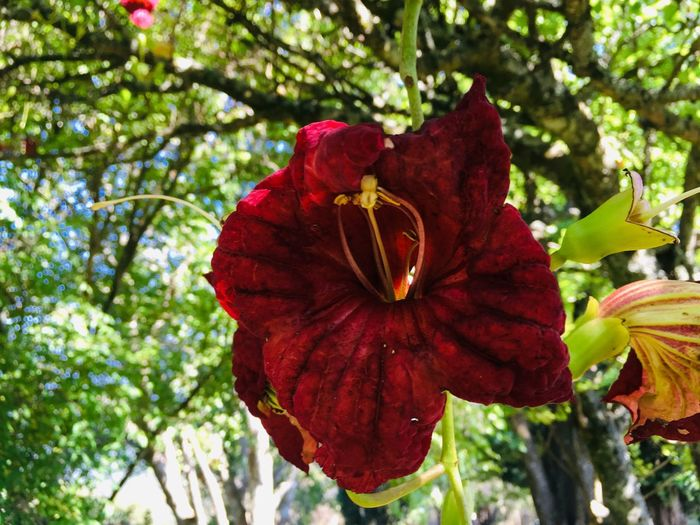 Red flower Plant Flowering Plant Flower Fragility Beauty In Nature Vulnerability  Red Flower Head Petal Tree Pollen Low Angle View Day No People Nature Close-up Freshness Focus On Foreground Inflorescence Growth