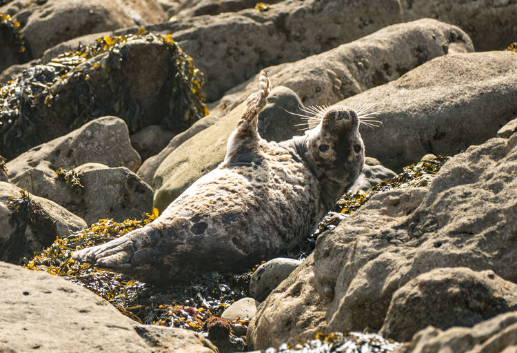 Side view of a seal on rock