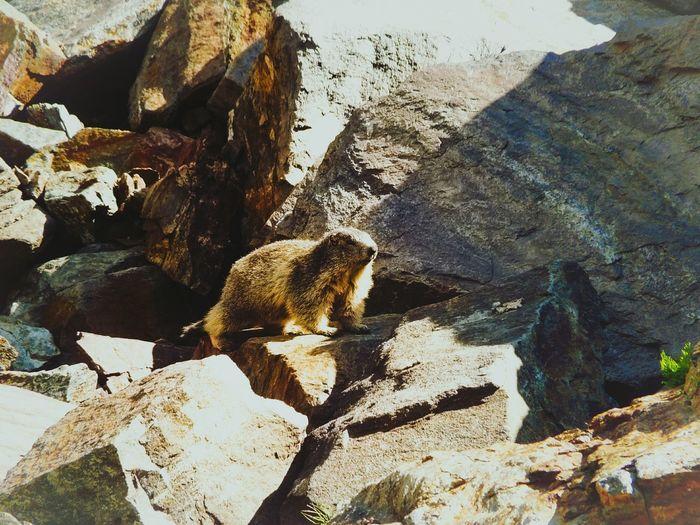 Little marmot on a rock Sunlight Nature Rock One Animal Marmot EyeEm Nature Lover EyeEm Best Shots Watcher Eye4photography  Nature Wildlife & Nature Wild Nature Photography Outdoors Animals In The Wild EyeEm Animal Lover Mammal Summer Exploratorium
