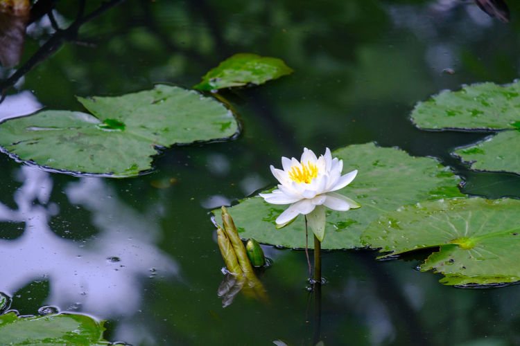 X-t2 Fujifilm Fujifilm_xseries FUJIFILM X-T2 Water Lily Flower Flowering Plant Plant Beauty In Nature Freshness Vulnerability  Fragility Growth Flower Head Nature No People Water Leaf Floating On Water Japan Japan Photography Ichikawa Pond