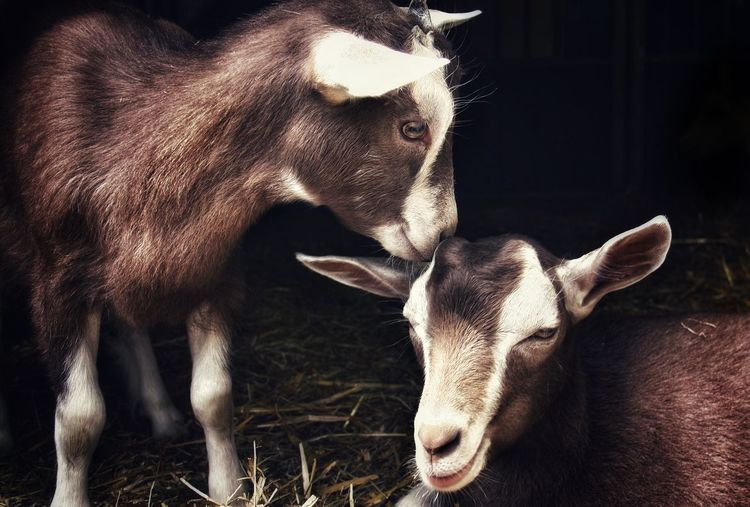 Close-up of kid goats on hay