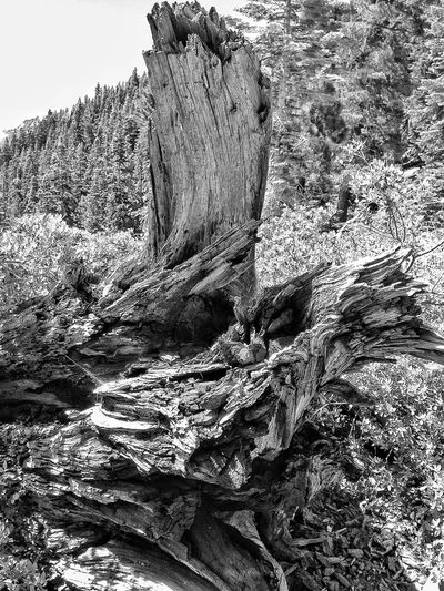 Tree Stump Dead Tree Tree_collection  Forest MonochromePhotography Black And White Photography Monochrome Texture Hiking near Loch Leven lake in the Sierra Sierra Nevada