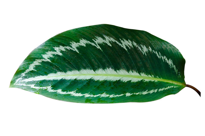 Calathea Medallion Calathea Crocata Calathea Close-up Copy Space Cut Out Food Food And Drink Freshness Green Green Color Growth Herb Indoors  Leaf Leaves Nature No People Plant Plant Part Single Object Still Life Studio Shot Wellbeing White Background