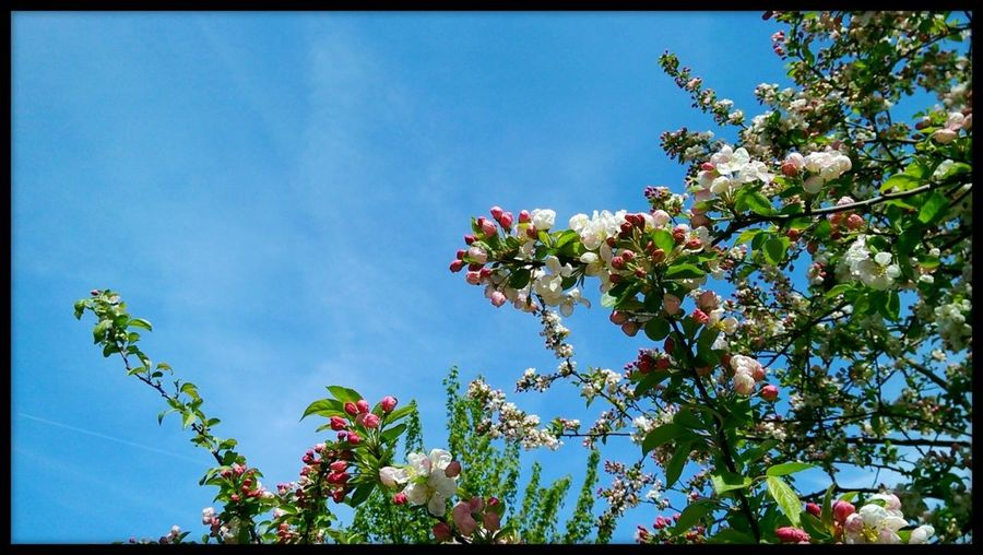 Summer blossom 💮 Summer Blossoms Clear Blue Sky Blossom Tree Low Angle View Beautiful Branches White Blossoms Blue Sky Beauty In Nature Freshness Close-up Nature Urban Beauty Bright Colors EyeEmNewHere The Week On EyeEm Freshness Mobilephotography No People Nature Pink Buds And Blossoms Branches And Sky Blossom Green Leaves Bristol England Beauty Of Nature