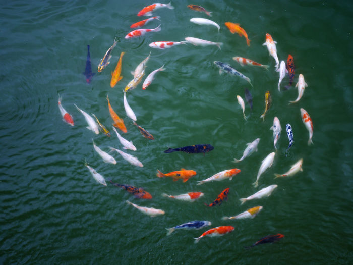 koi carp Waterfront Animals In The Wild Circle Large Group Of Animals Nature Pond Swimming Animal Themes Car Close-up Day Fish High Angle View Koi Carp No People Outdoors School Of Fish Togetherness Water