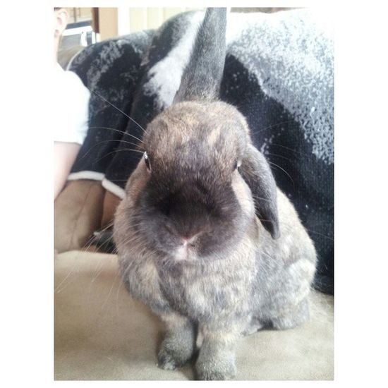 """yes?"" Bunny  Bunniesworldwide Ilovemybunny Ilovemypet petstagram rabbitstagram rabbitsofinstagram"