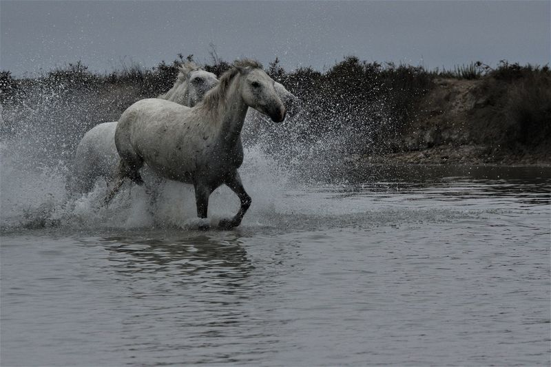 View of horse running in water