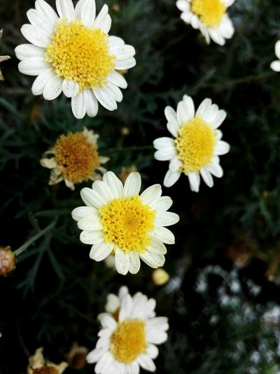 Close-up of white daisy flowers growing outdoors