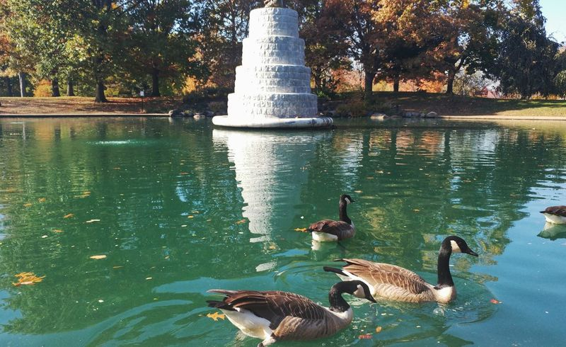 Water Swimming Tree Animal Themes Geese Nature Outdoors Day Reflection Beauty In Nature Columbus, Ohio Short North Goodale Park Leaves Sky Ohio Autumn Autumn Colors