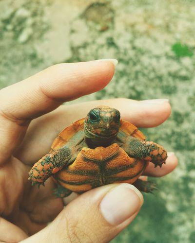 Filhote de Jabuti. young animal reptile close-up First Eyeem Photo