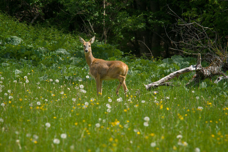 Abruzzo National Park Deer Grass Yellow Flower Beauty In Nature Deer In The Grass Italian Wilderness Parco Nazionale D'abruzzo Tranqyillity