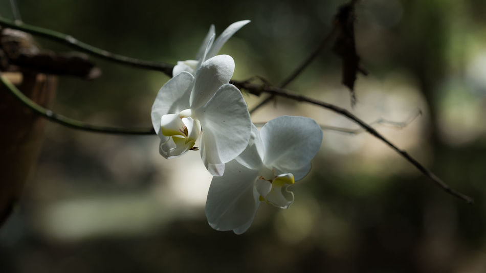 Cámaras de vigilancia Orchid Orchid Blossoms Beauty In Nature Blooming Blossom Close-up Flower Flower Head Fragility Freshness Growth Nature No People Orchid Flower Petal Plant Springtime White Color