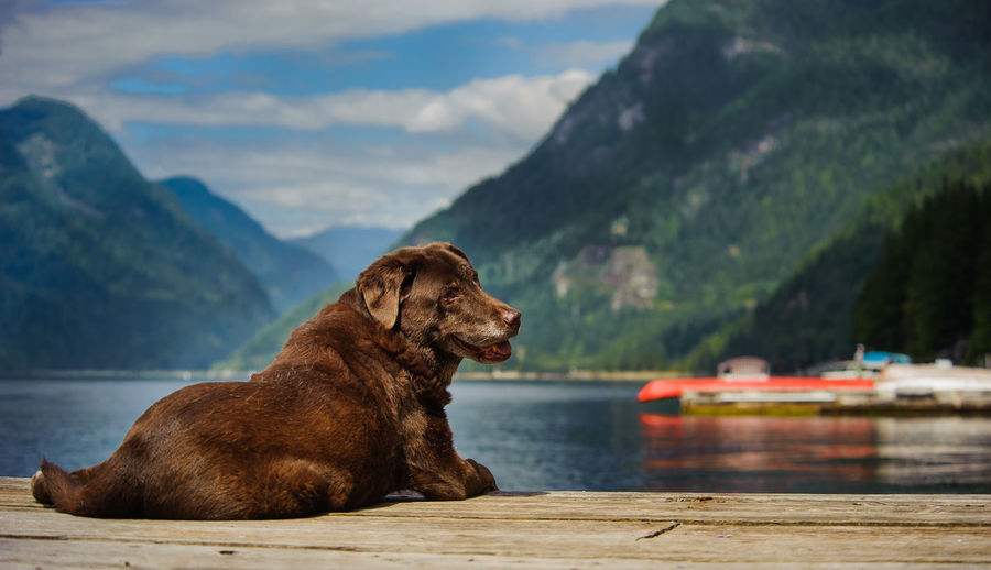 Chocolate labrador relaxing against lake and mountains