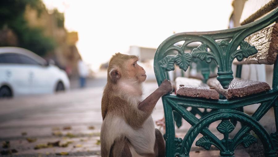 Primate Animal Animal Themes Focus On Foreground Mammal Monkey No People One Animal Pets Seat