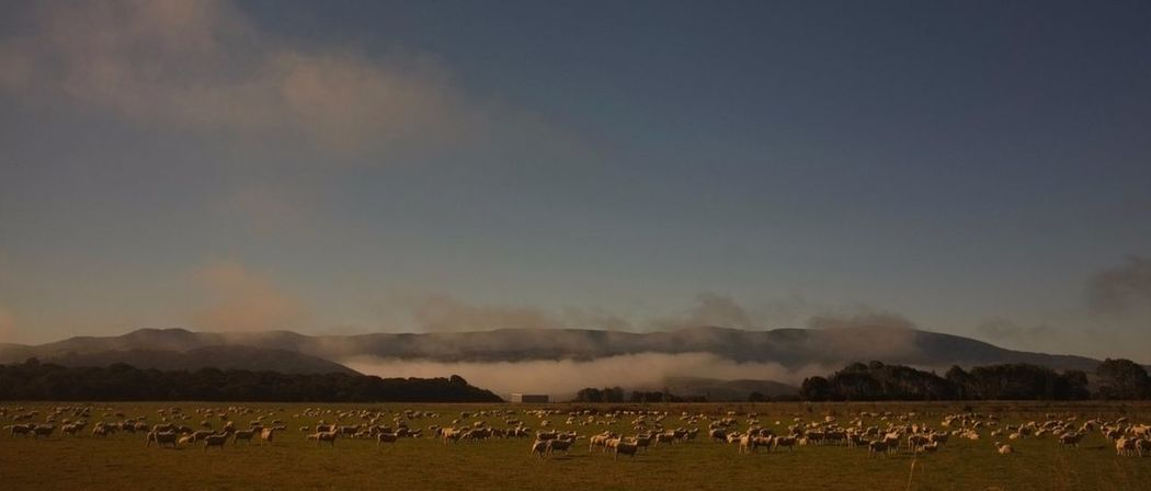 Field Landscape Large Group Of Animals Mountain Nature New Zealand Sheeps. Travel Photography