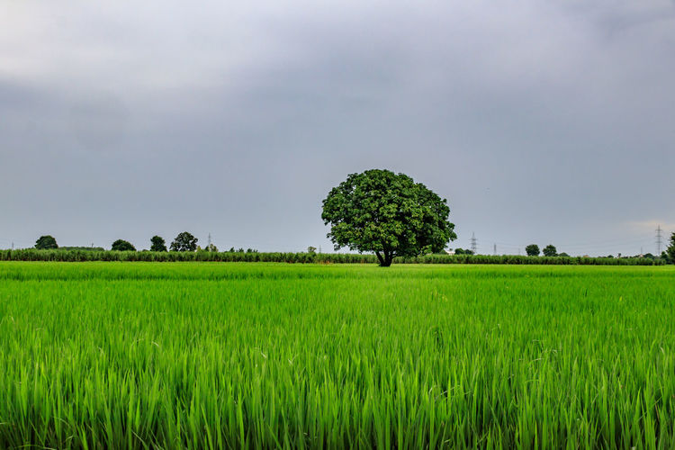 single tree along the rice fields Terraced Field Cultivated Land Single Tree Plantation Rice - Cereal Plant Lush - Description Sky Farm Crop  Field Agriculture Rural Scene Rice Paddy Cereal Plant Tree Plant Growth Land Landscape Green Color Environment Scenics - Nature Beauty In Nature Tranquility Tranquil Scene Nature Grass Crop  Cloud - Sky Day No People Outdoors The Minimalist - 2019 EyeEm Awards