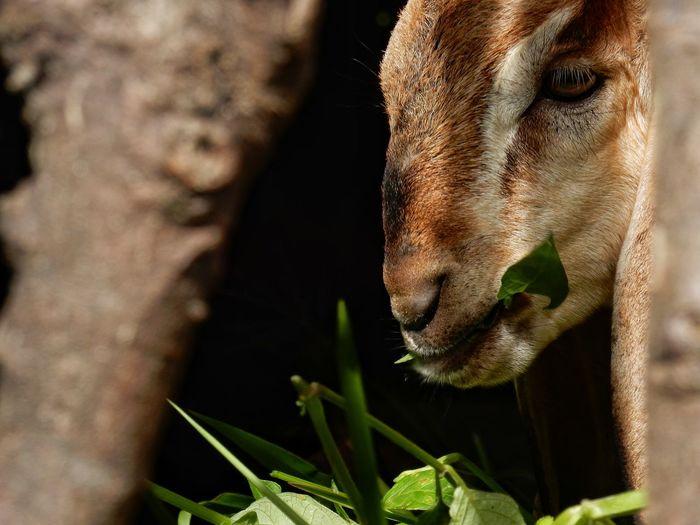 Goat Animal Animal Photography Close-up Of Goat Eating Animal Nature