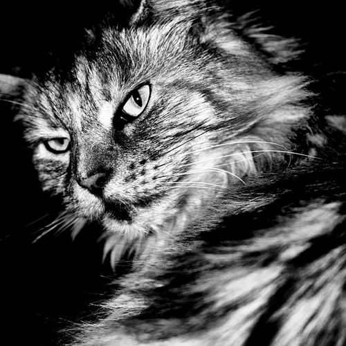 Katze Cat Maincoon Hauskatze tigerlüneburgfamiliefamilyangrycatangryböseböserblick