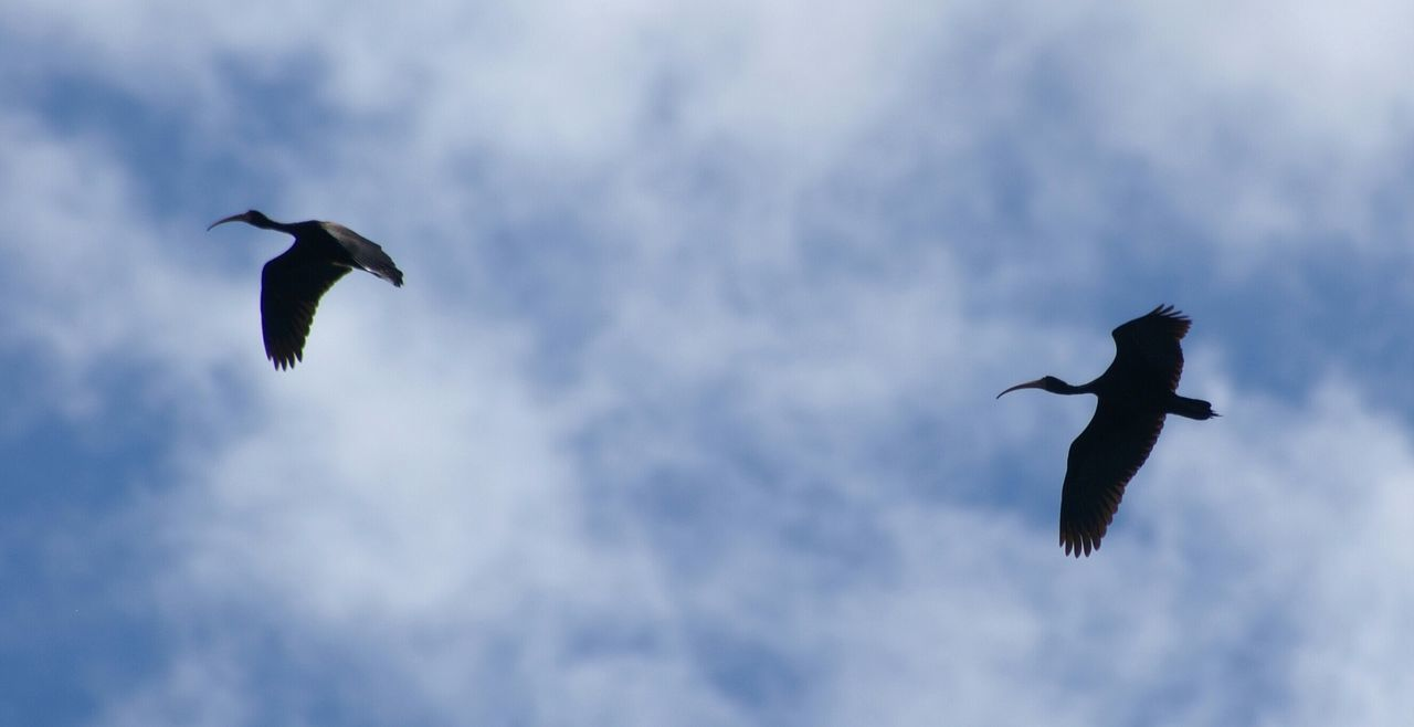 flying, bird, spread wings, mid-air, animals in the wild, low angle view, animal themes, nature, sky, day, animal wildlife, outdoors, no people, beauty in nature
