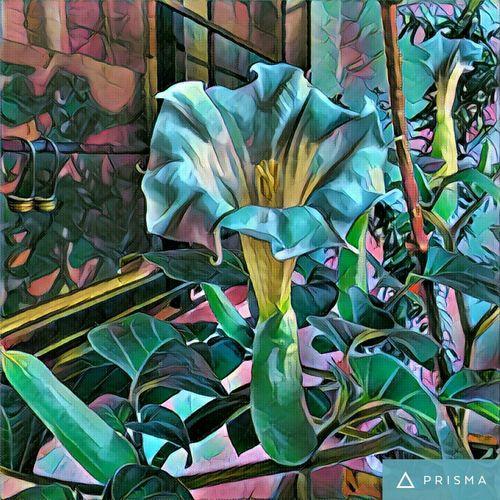Flowers Datura Entheogen Garden Nature
