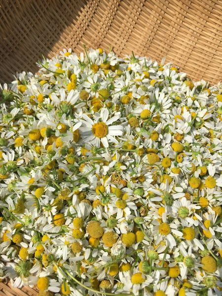 Flower Growth Nature Basket Yellow Petal Plant Freshness Fragility Beauty In Nature Blooming No People Outdoors Flower Head Kamillenblüten Kamila Kamille Herb Herbal Medicine