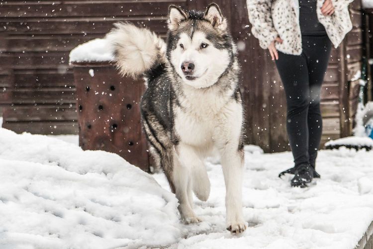 Low section of person with alaskan malamute  on snow