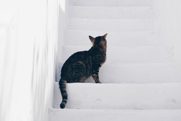 Greek cat Greek Cat Steps Amorgos Animal Themes Cat Day Domestic Animals Domestic Cat Feline Greece Mammal No People One Animal Outdoors Pets Sitting Steps And Staircases White Background Pet Portraits
