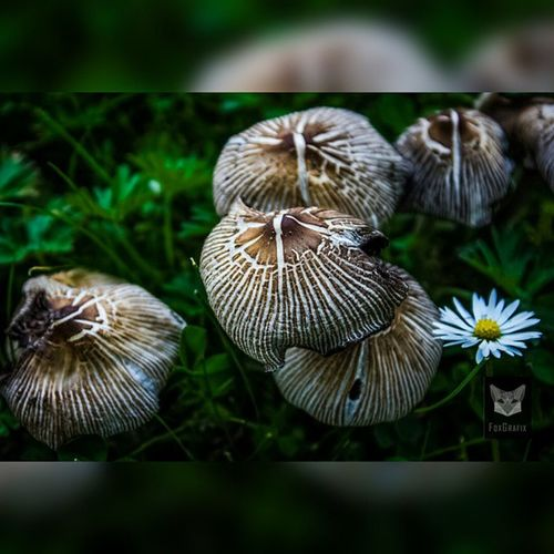 Mushrooms and Daisy Mushroom Mushrooms Fotografie Salzgitter Natur Naturephotography Salzgitter
