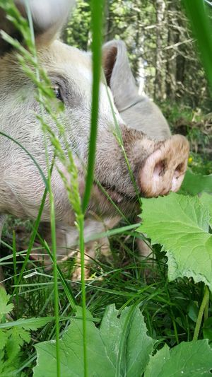 Austria Good Luck Forest Animal Lucky Pig Animals In The Wild Happy Anímals Pigs Showcase July Animals