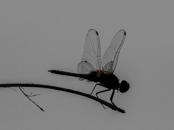 Dragonfly in Silhouette Insect Animal Themes Invertebrate Animal Animal Wildlife One Animal Animal Wing Animals In The Wild Nature Close-up No People Dragonfly Outdoors Studio Shot Day Copy Space Full Length Sky Twig Dragonfly Silhouette Photography Wings Spread