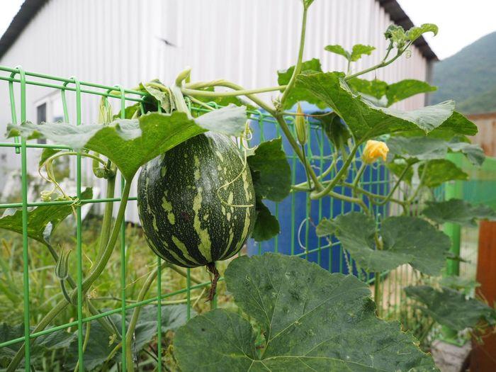 Squash Gimhae  Fence South Korea Leaf Close-up Plant Green Color Day Growth First Eyeem Photo Olympus OM-D EM-1