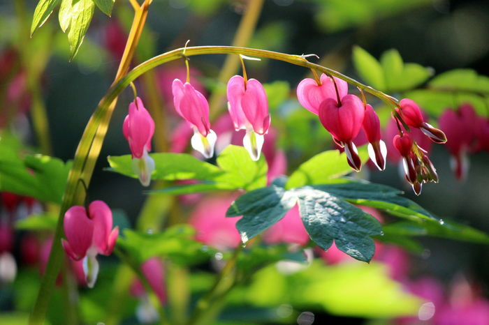 Beauty In Nature Beginnings Bleeding Hearts Blooming Blossom Botany Close-up Depth Of Field Flower Flower Head Focus On Foreground Fragility Freshness Growth Nature New Life Petal Pink Color Selective Focus Springtime Stem Focus On Macro Beauty