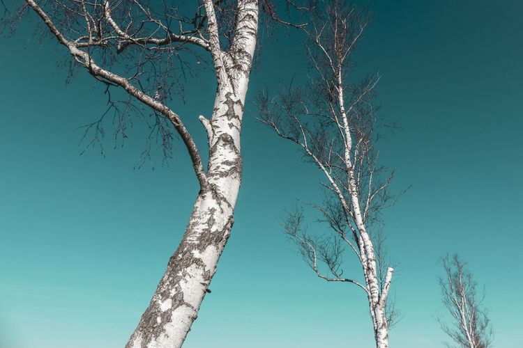 Beauty In Nature Plant Nature No People Environment Idyllic Magic Vulnerability  Light And Shadow Still Life Scenics Bare Tree Birch Tree Birch Tree Tree Trunk Atmospheric Mood Calm Clear Sky Close-up Sky Bark Countryside Branch Tranquility 17.62°