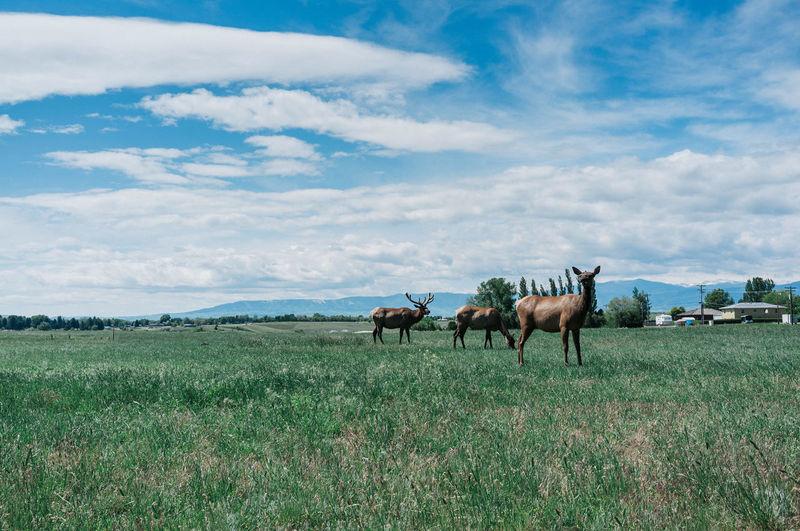 Elks on grassy land