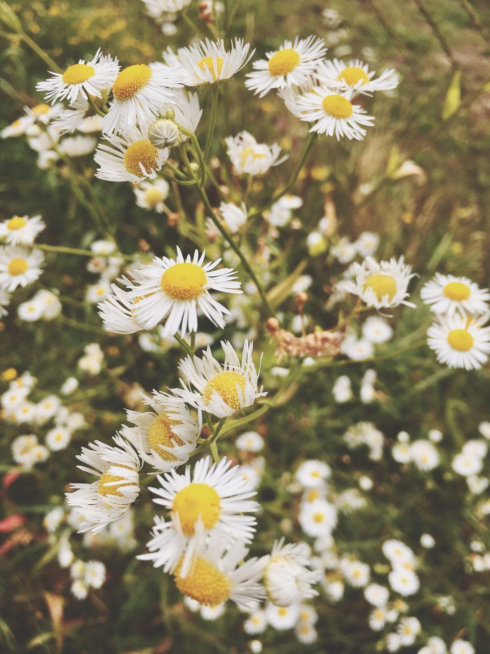 flower, fragility, white color, petal, freshness, nature, flower head, growth, beauty in nature, day, blooming, pollen, yellow, no people, close-up, plant, outdoors, springtime