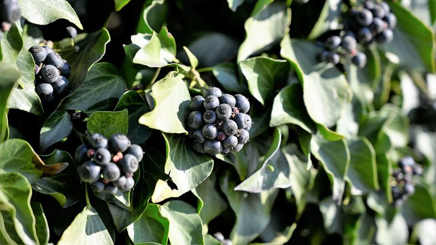 Ivy Growth Freshness Leaf Plant Part Plant Green Color Close-up Berry Fruit Day No People Nature Beauty In Nature Sunlight Black Color Outdoors