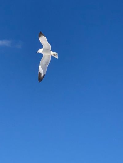 Flying Bird Animals In The Wild Animal Wildlife One Animal Blue Spread Wings Animal Animal Themes Sky Copy Space Clear Sky Mid-air No People Nature Day Low Angle View Outdoors Seagull