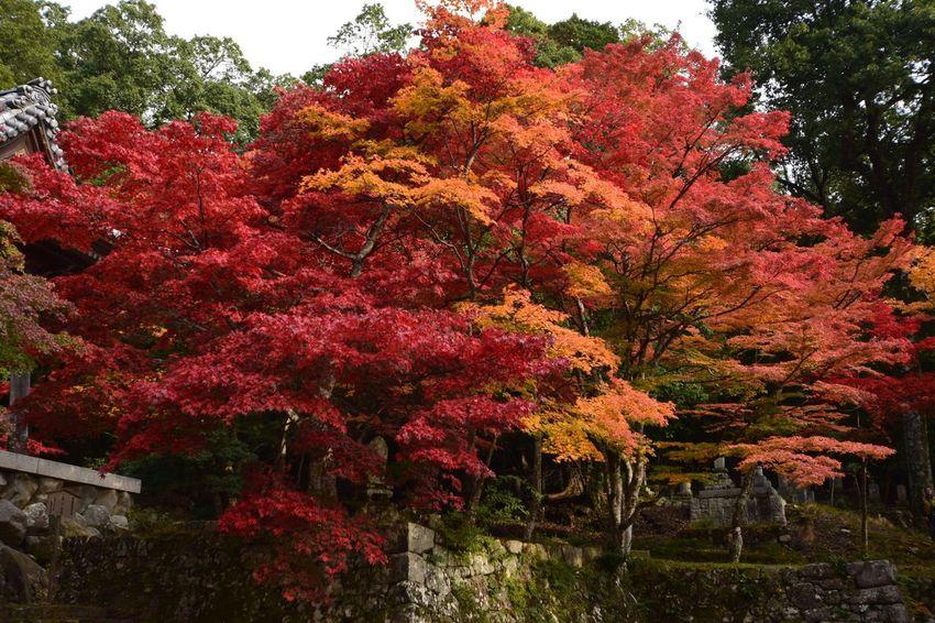 紅葉 😚 Autumn 11月 EyeEm Nature Lover Beauty In Nature EyeEm Japan Beauty In Nature Eyemphotography 写真で伝えたい ファインダー越しの私の世界 Japan Photography Autumn