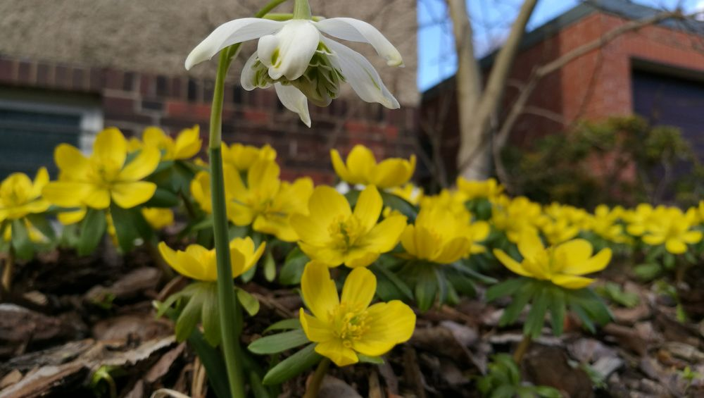 Flower Fragility Yellow Nature Plant Growth Freshness Beauty In Nature Blooming Petal Flower Head Focus On Foreground No People Close-up Outdoors Day Building Exterior Snowdrops Winter Aconite