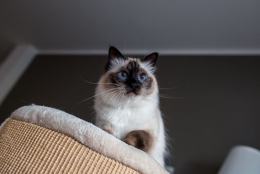 Domestic Cat Domestic Animals One Animal Pets Feline Whisker Close-up Blue Eyes Eyes Indoors