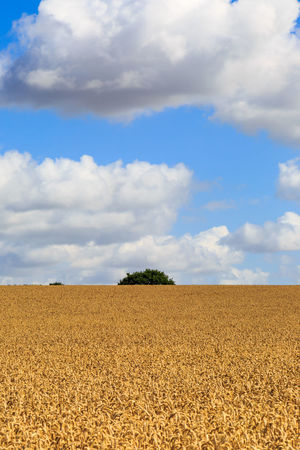 Crops ready for harvesting Wheat Field Agriculture Barley Beauty In Nature Cereal Plant Cloud - Sky Crops Day Field Growth Harvest Landscape Nature No People Outdoors Rural Scene Scenics Sky Suffolk Tranquil Scene Tranquility Vertical