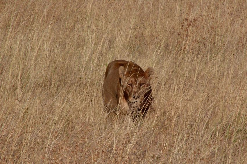 Africa African Safari Animal Animal Themes Animals In The Wild Carnivora Day Grass Lion Lion - Feline Lioness Lioness Stalking Long Grass Looking At Camera Mammal No People One Animal Safari Safari Animals Serengeti Serengeti National Park Serengeti, Tanzania Threatened Species Wildlife Zoology