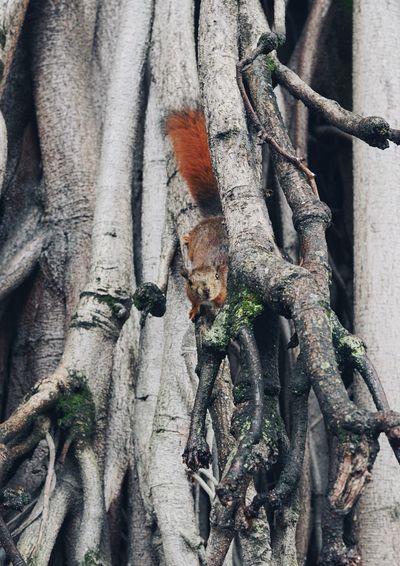 Squirrel hide