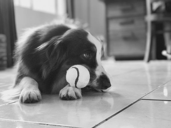 Dog Monochrome Dog Pets Domestic Animals Mammal One Animal Animal Themes Indoors  Focus On Foreground No People Close-up Day