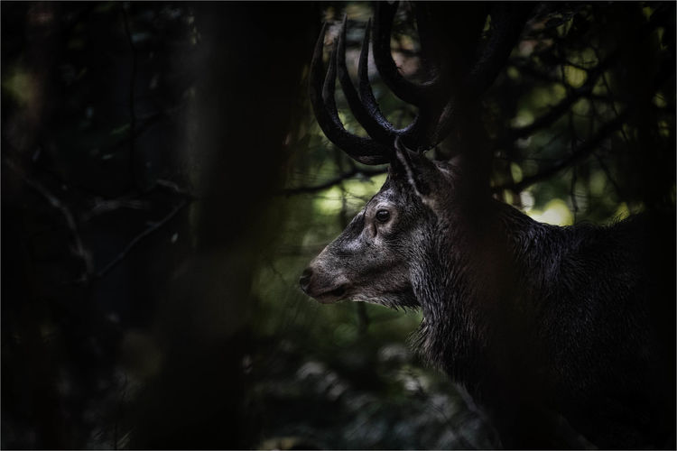 Close-up of stag in forest