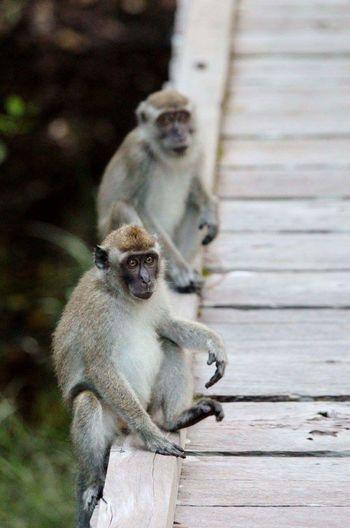 Tanjun Puting, Central Kalimantan. Macaque Monkey Wildlife Borneo Kalimantan INDONESIA Jungle