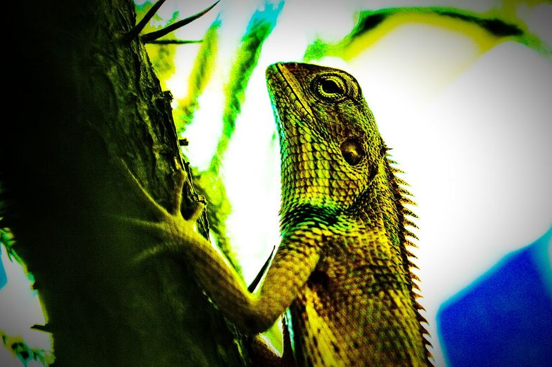 Chameleon_collection Chameleon On A Tree Chameleonsoul❤️💛💚💙💜 Chameleon Spirit Wildlife Photography Wildlife & Nature EyeEmNewHere Animal Love EyeEmNewHere Adapted To The City Experimenting... Experimental Photography Strange One Animal Reptile Animal Themes Animals In The Wild Close-up Lizard Animal Wildlife Green Color No People Day Nature Outdoors Iguana Uniqueness