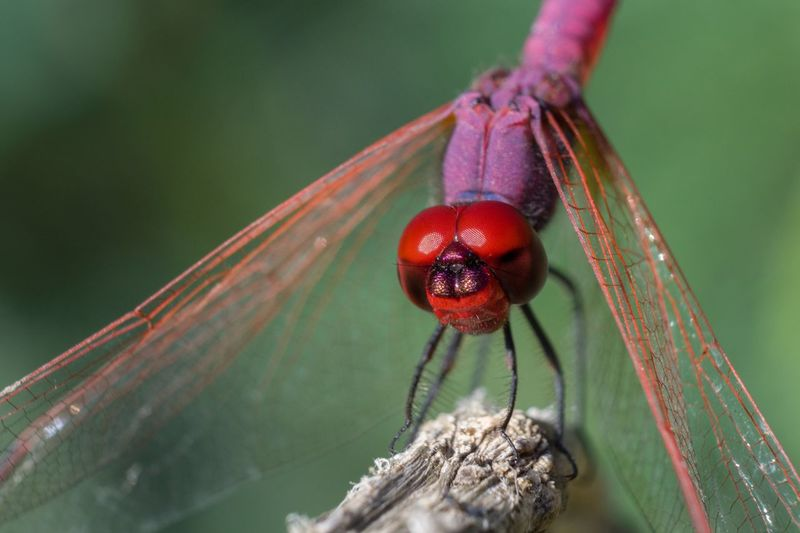 Colors Macro Dragonfly EyeEm Selects Close-up Insect Animals In The Wild Red Animal Themes One Animal Day Focus On Foreground Animal Wildlife Nature