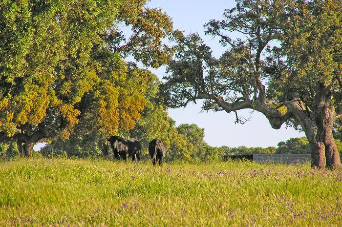 Animal Themes Animals Bull Bulls Cattle Cow Cows Dangerous Animals Day Dehesa Domestic Animals Field Grass Mammal Nature No People Outdoors Pasture Pasture, Paddock, Grassland, Pastureland Powerful Quercus Quercus Ilex Toro Toros Wild